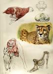 Cheetah anatomy