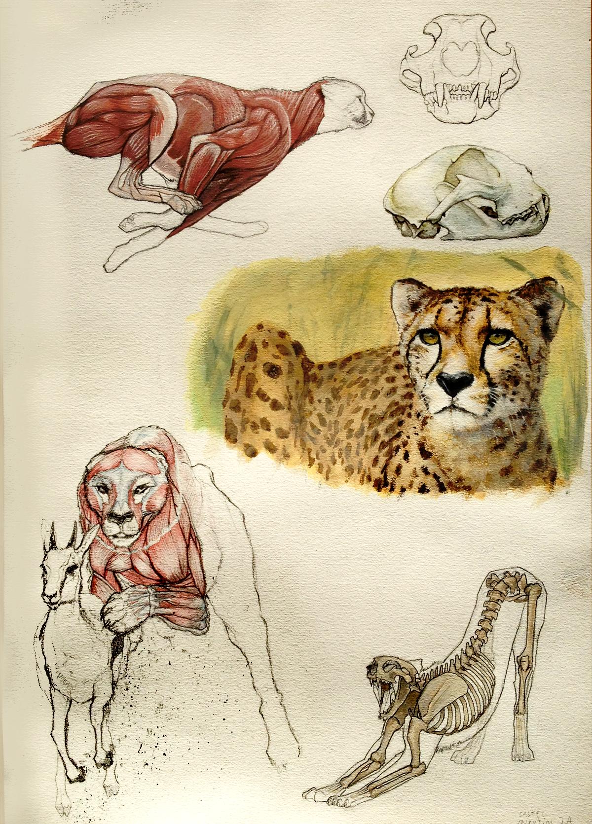 Cheetah anatomy by Quentinvcastel