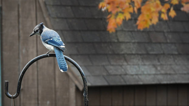 Untitled Blue Jay