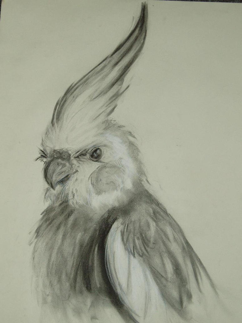 Normal Grey Male Cockatiel By Supercrazzy On DeviantArt