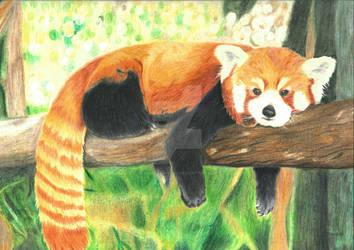 Red panda by Danieljamieson