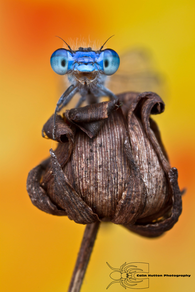 Enallagma civile - Familiar Bluet by ColinHuttonPhoto