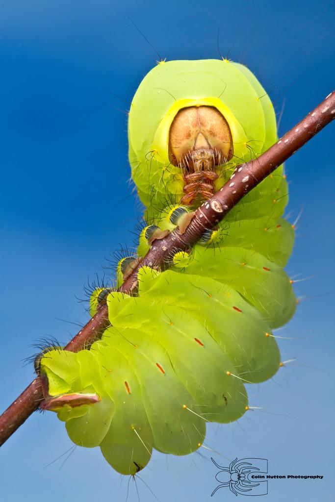 Polyphemus Caterpillar - Antheraea polyphemus by ColinHuttonPhoto