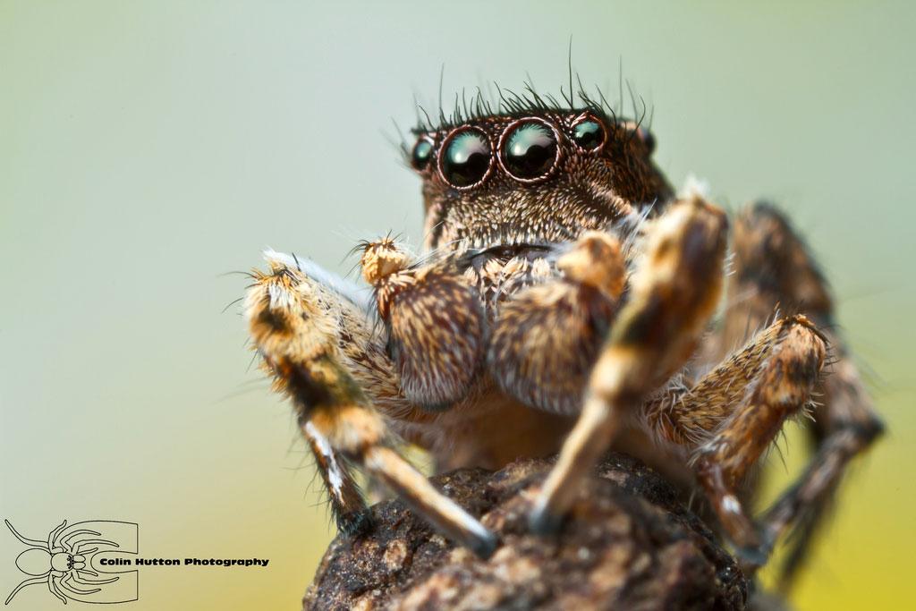 Jumping Spider - Habronattus elegans by ColinHuttonPhoto