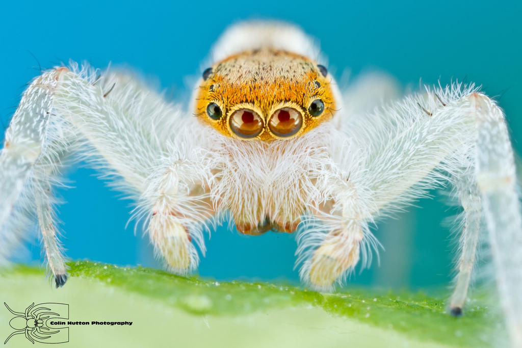 Jumping Spider - Hentzia mitrata by ColinHuttonPhoto
