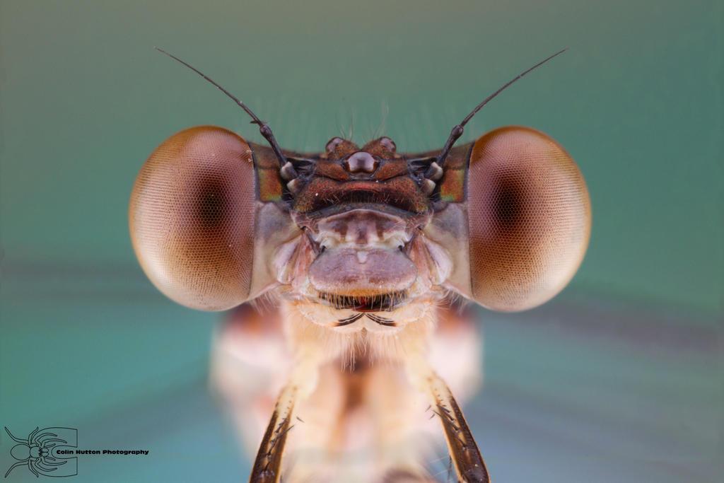 Smoky Rubyspot - Hetaerina titia by ColinHuttonPhoto