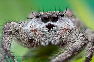 Jumping spider - Platycryptus undatus by ColinHuttonPhoto