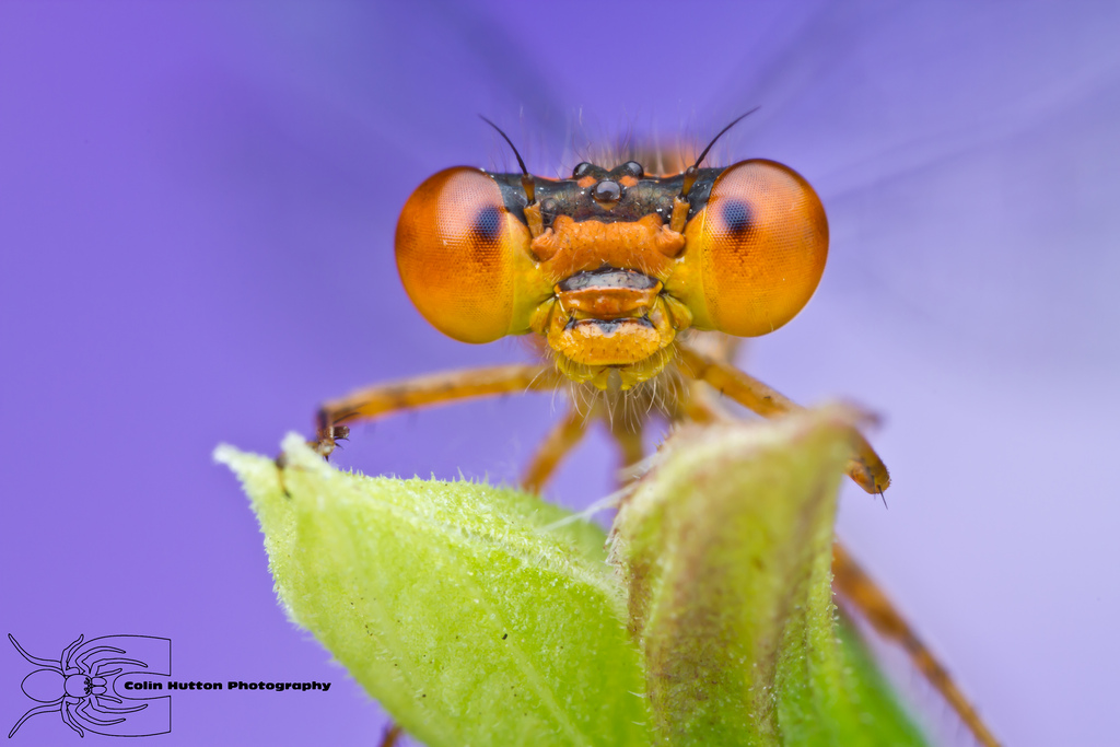 Orange bluet - Enallagma signatum by ColinHuttonPhoto