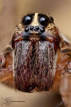 Wolf Spider - Hogna sp.