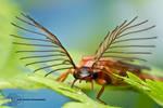 Glowworm - Phengodes sp.