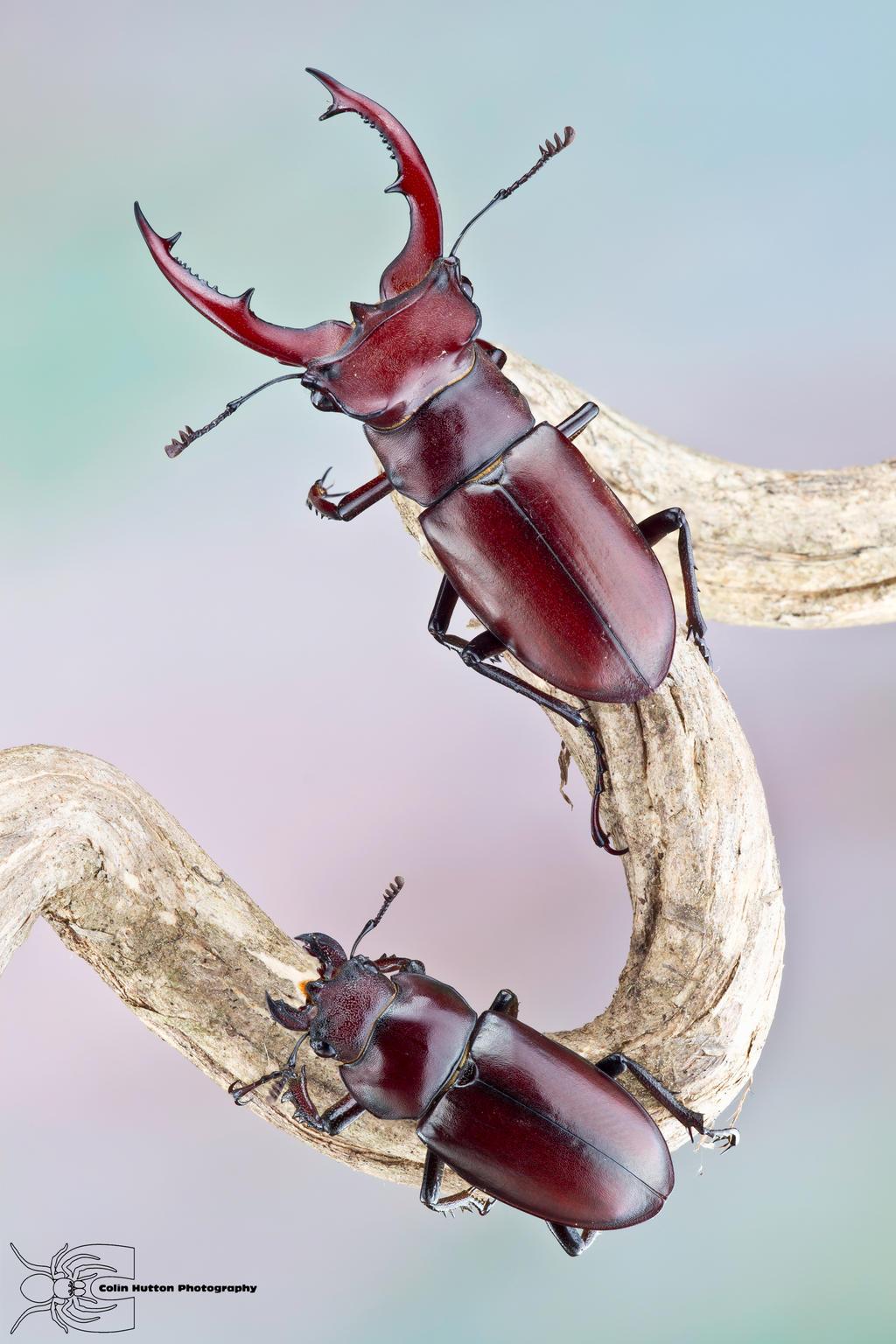 Giant Stag Beetles - Lucanus elaphus by ColinHuttonPhoto