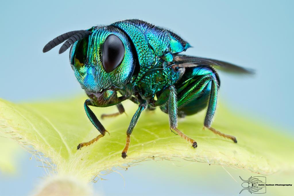 Chalcid Wasp - Euperilampus triangularis by ColinHuttonPhoto