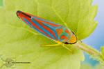 Red-banded leafhopper - Graphocephala coccinea
