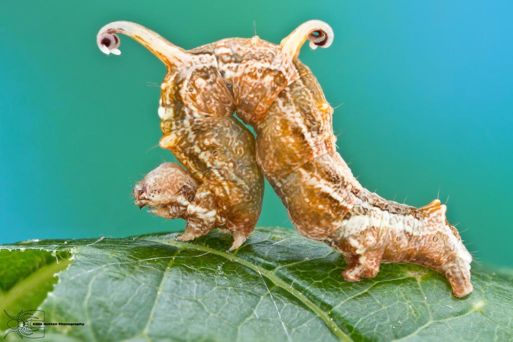 Filament Bearer - Nematocampa resistaria by ColinHuttonPhoto