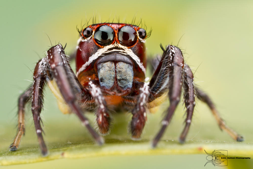 Jumping Spider - Thiodina sp. by ColinHuttonPhoto