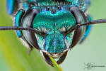 Orchid Bee - Euglossa dilemma