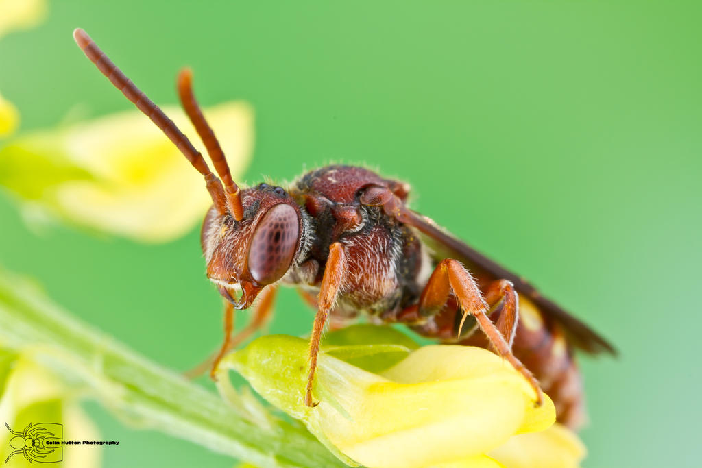Nomada Bee - Nomada sp. by ColinHuttonPhoto