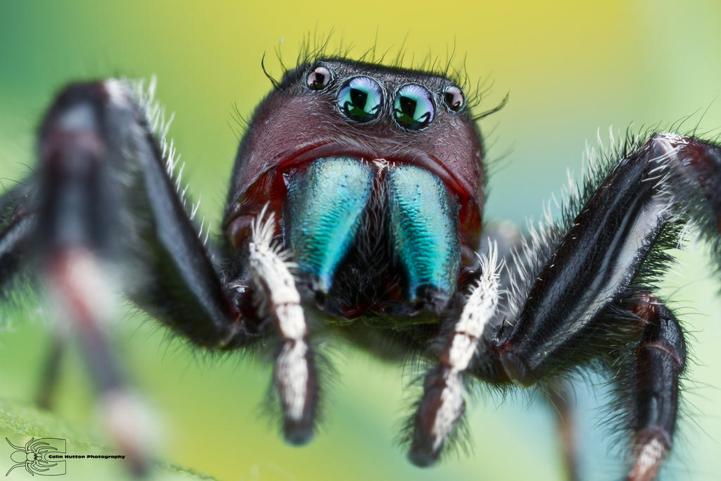 jumping spider phidippus clarus by