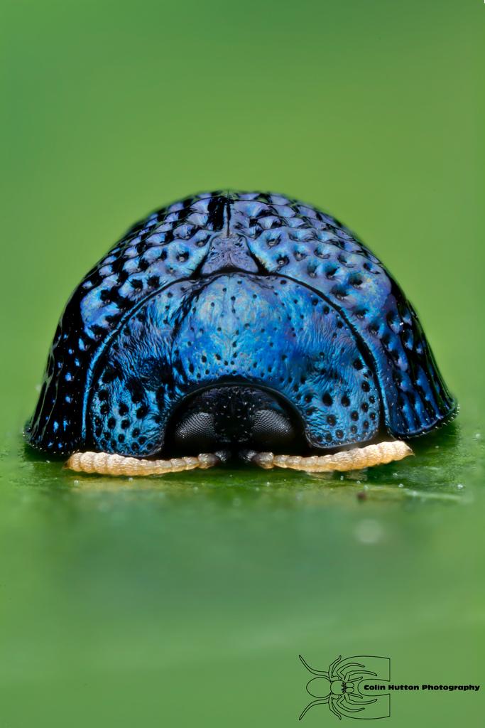 Palmetto Tortoise Beetle - Hemisphaerota cyanea by ColinHuttonPhoto