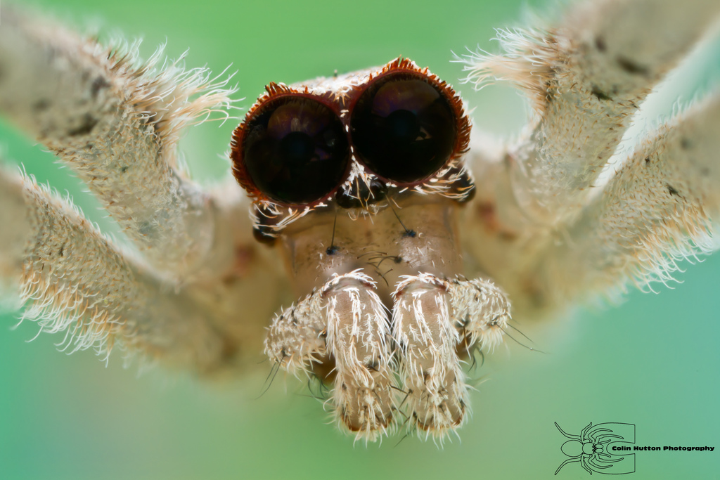 Ogre-faced spider - Deinopis spinosa by ColinHuttonPhoto