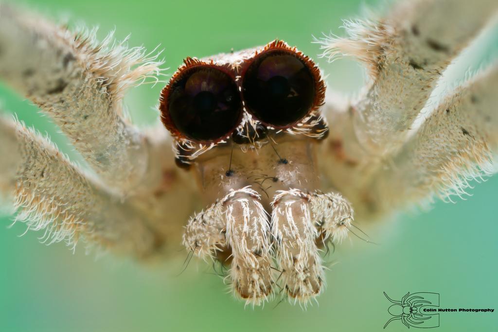 Ogre-faced spider - Deinopis spinosa by ColinHuttonPhoto
