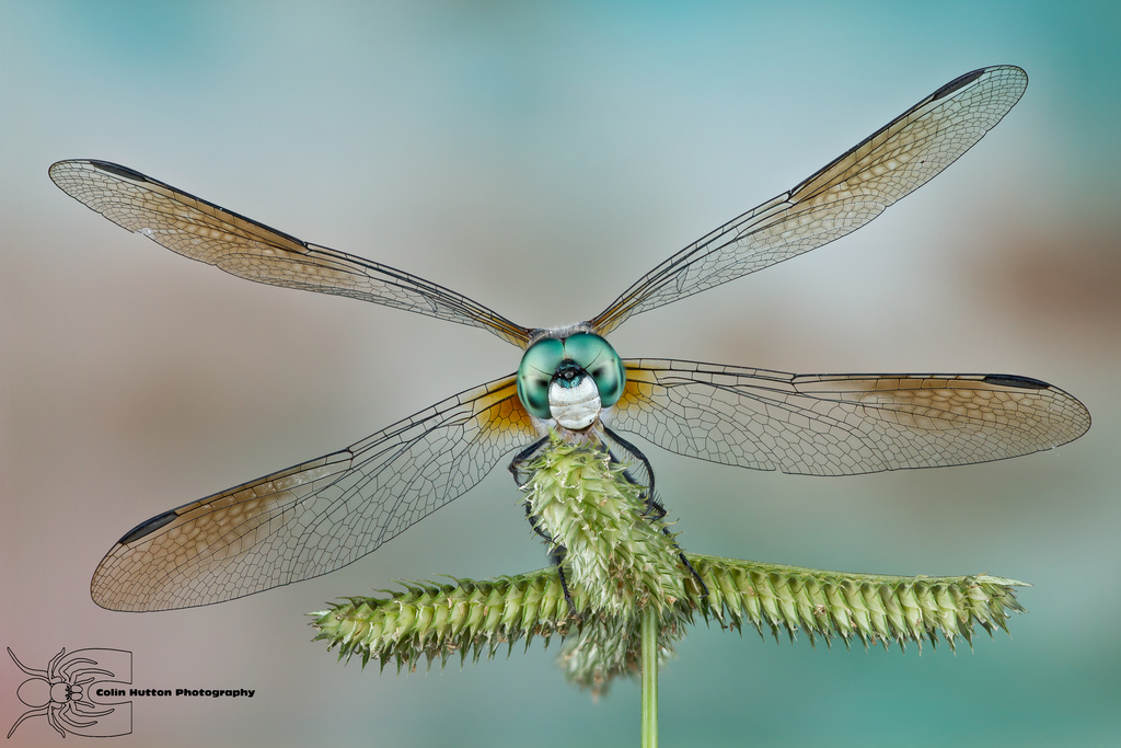 Blue Dasher - Pachydiplax longipennis by ColinHuttonPhoto