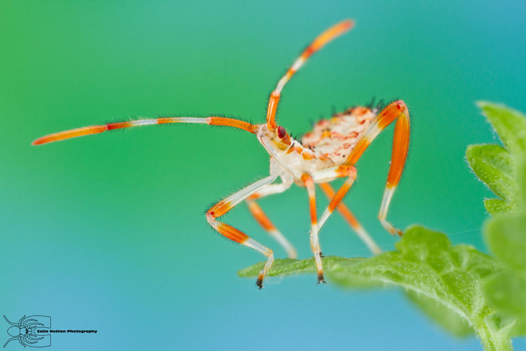 Leaf-footed Bug - Acanthocephala terminalis by ColinHuttonPhoto
