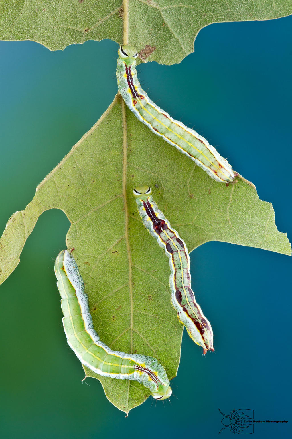Variable Oakleaf Caterpillar - Lochmaeus manteo by ColinHuttonPhoto