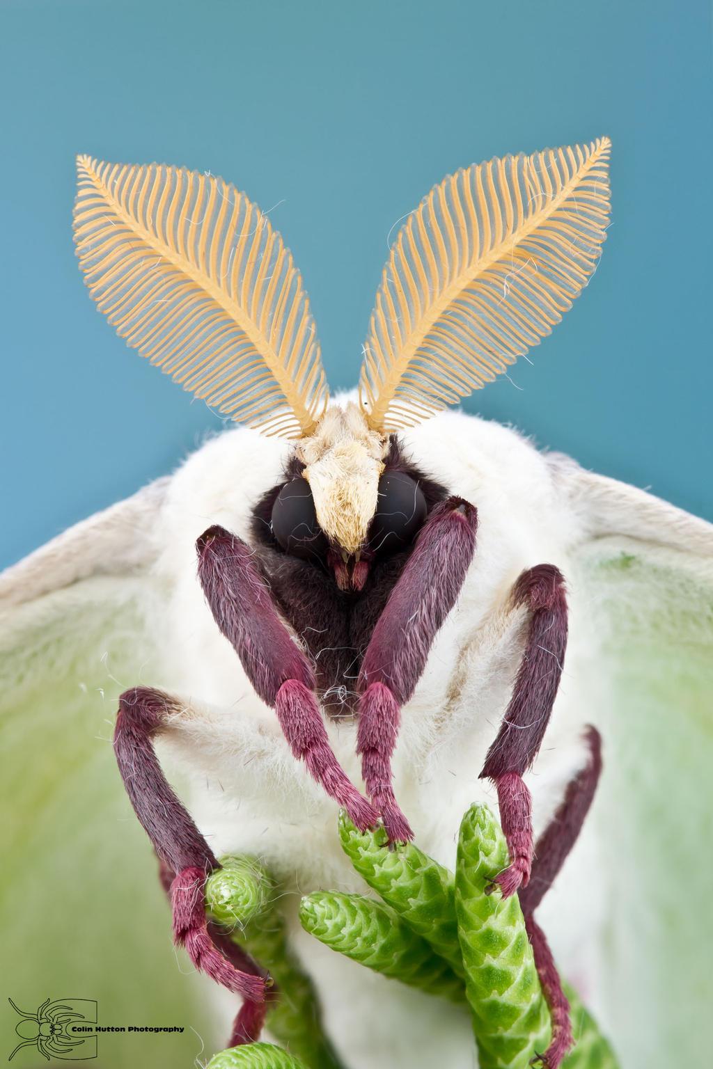 Luna Moth - Actias luna by ColinHuttonPhoto