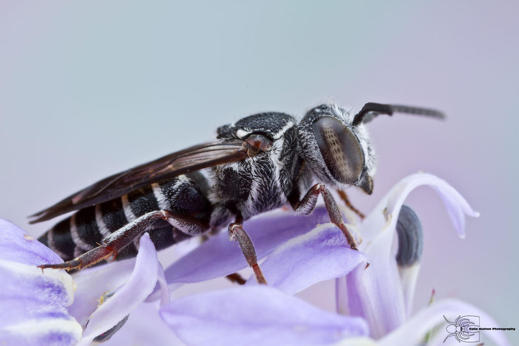 Cuckoo Bee - Coelioxys sp. by ~ColinHuttonPhoto