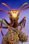 Paper wasp - Polistes major