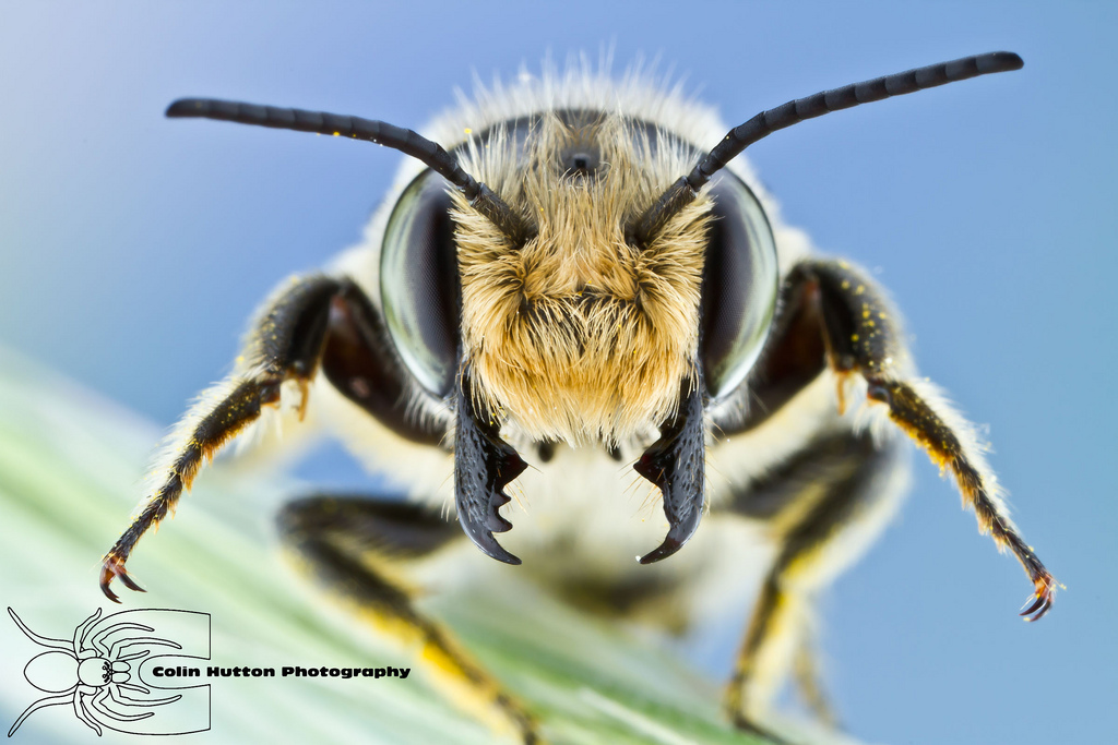 Leaf-cutting Bee - Megachile sp. by ~ColinHuttonPhoto