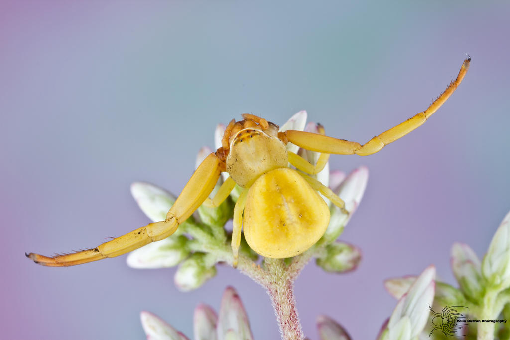 White-banded Crab Spider - Misumenoides formosipes by ~ColinHuttonPhoto