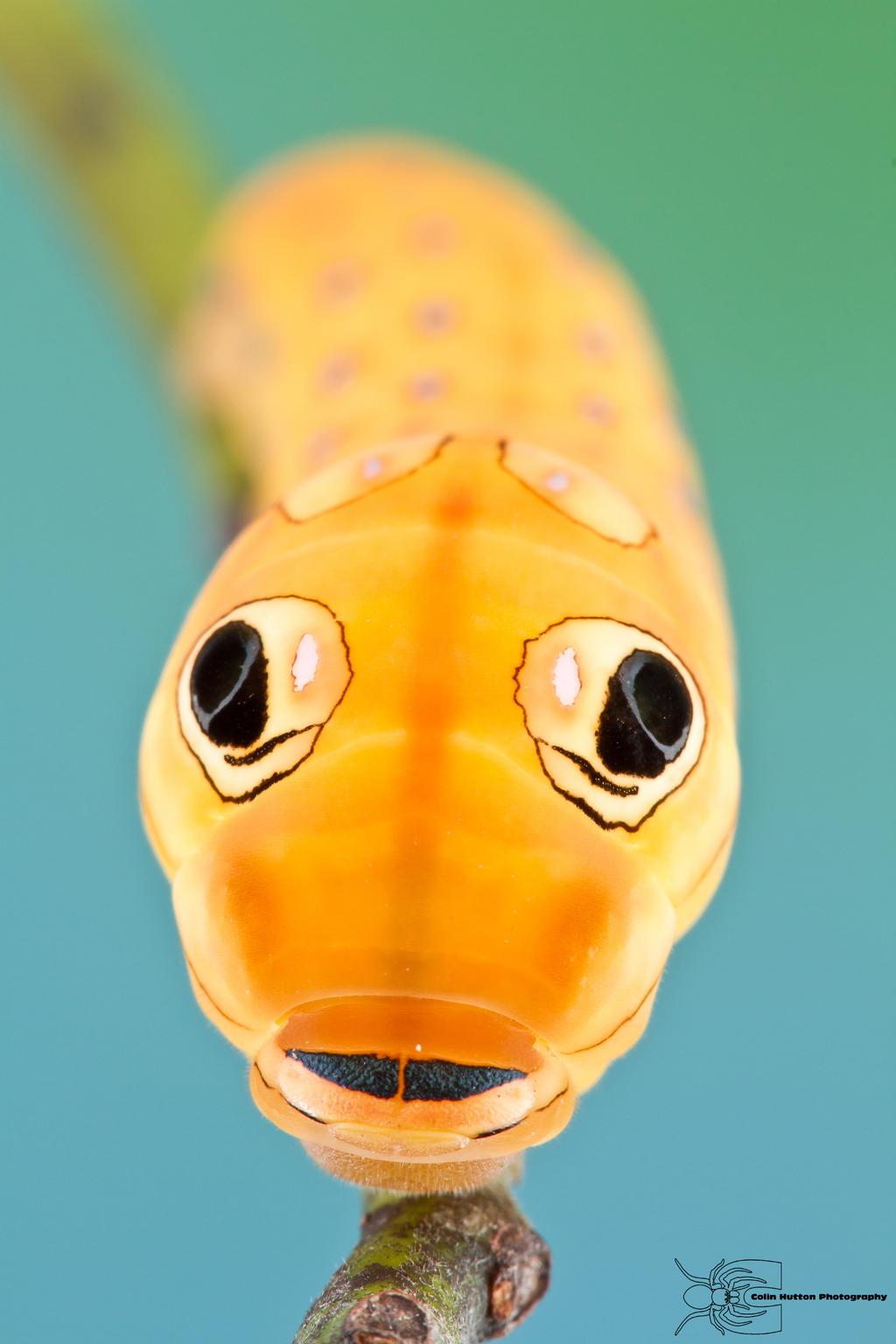 Spicebush Swallowtail - Papilio troilus by ColinHuttonPhoto