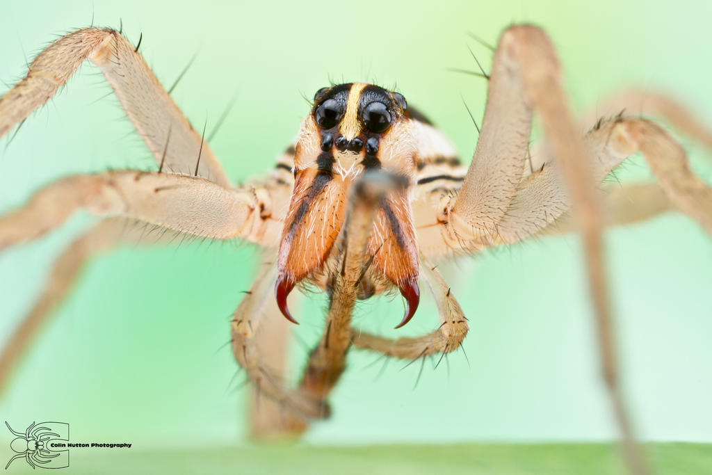 Rabid Wolf Spider - Rabidosa rabida by ColinHuttonPhoto