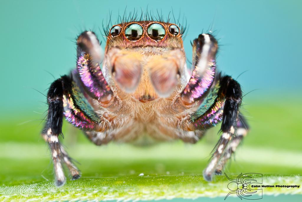 Jumping Spider - Habronattus hallani by ColinHuttonPhoto