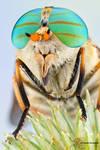 Horse Fly - Tabanus fulvulus
