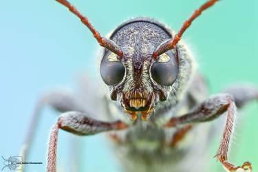 Rustic Borer - Xylotrechus colonus by ColinHuttonPhoto
