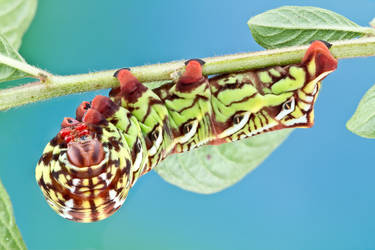 Banded Sphinx Caterpillar - Eumorpha fasciatus by ColinHuttonPhoto