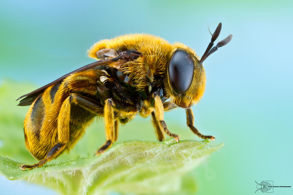 Hover Fly - Microdon sp. by ColinHuttonPhoto
