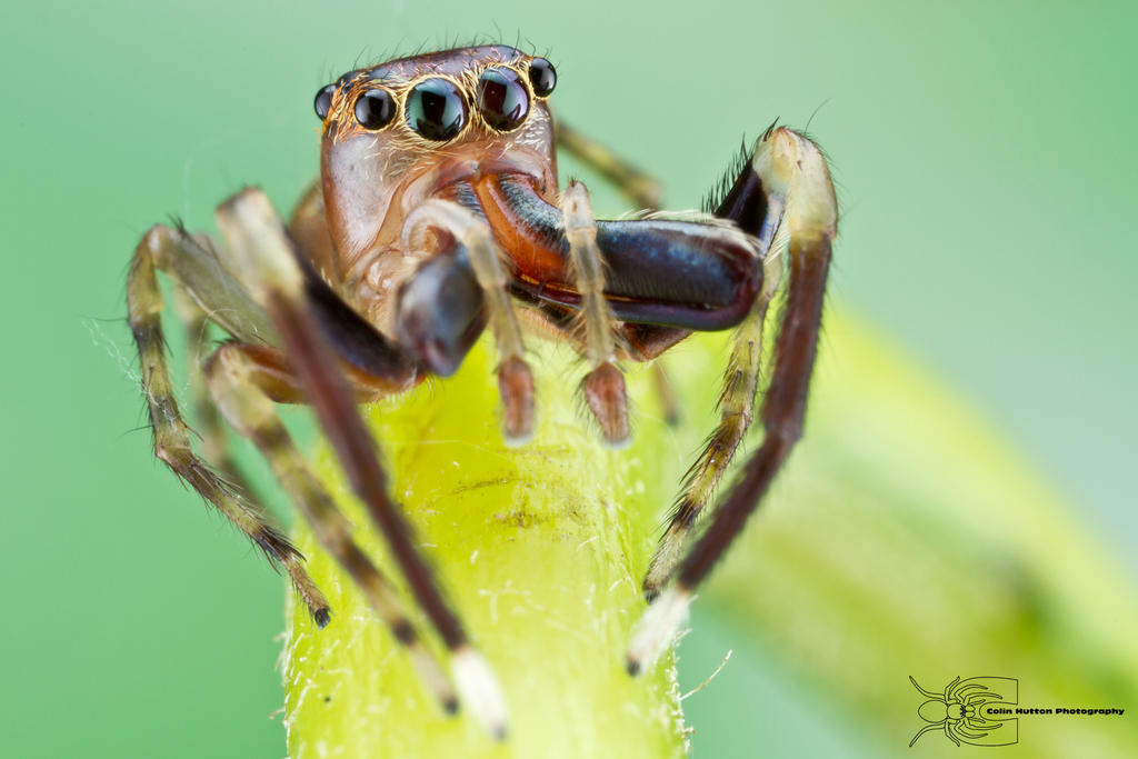 Colombian jumping spider by ColinHuttonPhoto