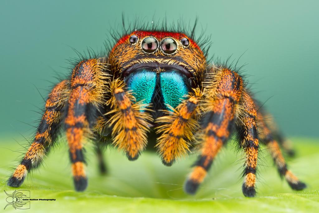 Phidippus apacheanus by ColinHuttonPhoto