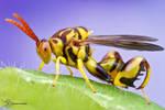 Chalcid Wasp - Conura amoena