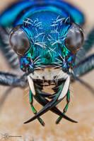 Festive Tiger Beetle - Cicindela scutellaris by ColinHuttonPhoto