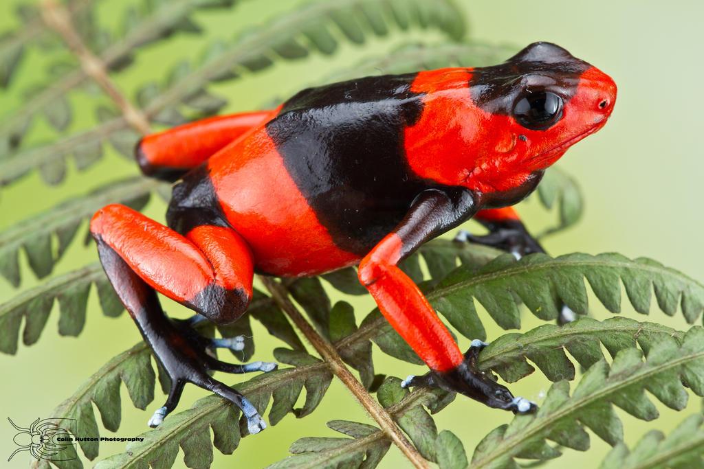 Lehmann's Poison Frog - Dendrobates lehmanni by ColinHuttonPhoto