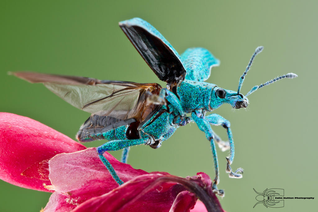 Weevil taking flight by ColinHuttonPhoto