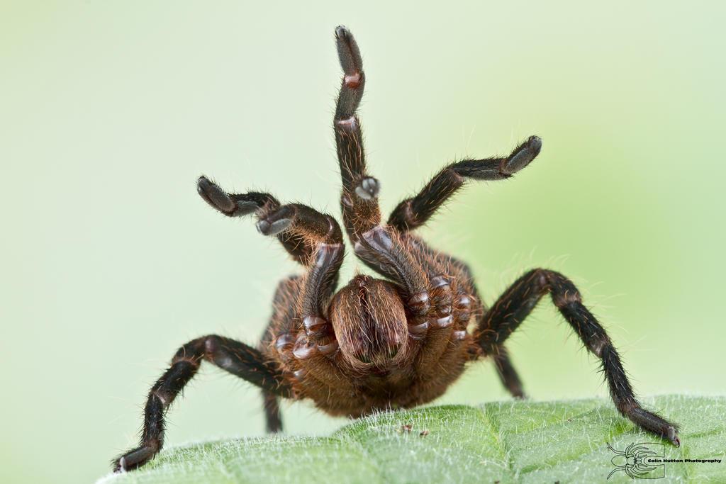 Tarantula threat display by ColinHuttonPhoto