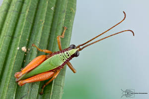Grasshopper from Colombia by ColinHuttonPhoto