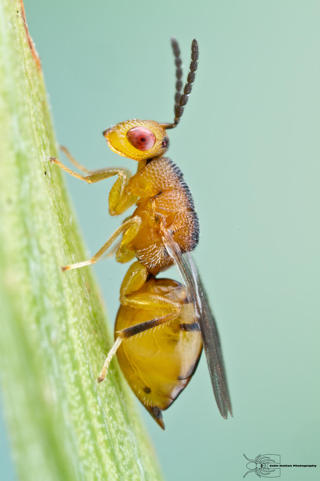 tiny wasp by ColinHuttonPhoto