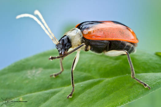 Beetle cleaning its leg